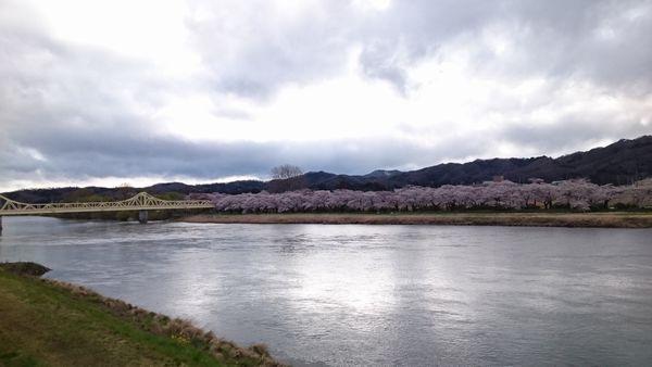 2020年 展勝地の桜