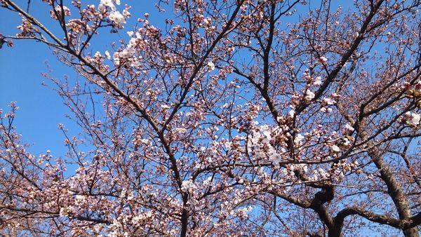 2020年 北上市展勝地の桜